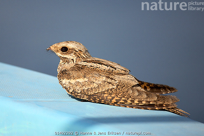 European nightjar (Caprimulgus europaeus) at rest on boat at sea, during autumn migration, Oman, October., ANIMAL,VERTEBRATE,BIRDS,NIGHTJAR,EURASIAN NIGHTJAR,ANIMALIA,ANIMAL,WILDLIFE,VERTEBRATE,AVES,BIRDS,CAPRIMULGIFORMES,CAPRIMULGIDAE,NIGHTJAR,CAPRIMULGUS,CAPRIMULGUS EUROPAEUS,EURASIAN NIGHTJAR,COMMON NIGHTJAR,EUROPEAN NIGHTJAR,MIGRATING,MIGRATION,RESTING,REST,ASIA,MIDDLE EAST,OMAN,SULTANATE OF OMAN,PROFILE,SIDE VIEW,BOAT,BOATS,ANIMAL BEHAVIOUR,BEHAVIOUR,ARABIA,OFFSHORE, Hanne & Jens Eriksen