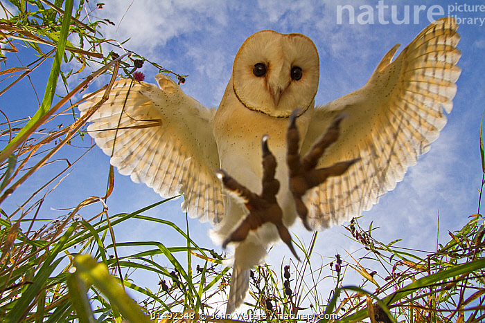 Barn Owl (Tyto alba) hunting/hovering, Somerset, UK, trained bird., catalogue7,Animal,Vertebrate,Bird,Birds,Owl,Barn owl,Animalia,Animal,Wildlife,Vertebrate,Aves,Bird,Birds,Strigiformes,Owl,Bird of prey,Tytonidae,Tyto,Tyto alba,Barn owl,Western barn owl,Common barn owl,Flying,Hovering,Landing,Focus,Nobody,Worried,Serious,Europe,Western Europe,UK,Great Britain,England,Somerset,Close Up,Low Angle View,Unusual Angle,Plant,Grass Family,Grass,Grasses,Wing,Wings,Sky,Cloud,Outdoors,Open Air,Outside,Day,Nature,Natural,Natural World,Wild,Animals In The Wild,Animal In The Wild,Wild Animal,Wild Animals,Animal Behaviour,Predation,Hunting,Behaviour,Flight,Ventral view,Underside,Wings spread,Wingspan,Trained,Focused,Swooping,,Personal Point of View,, John Waters