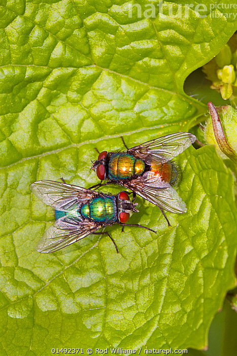 Greenbottles (Lucilia Sp) mating pair showing colour variation, Ladywell Fields, Lewisham, London, England, UK. April  ,  Animal,Arthropod,Insect,True fly,Blowfly,Green bottle fly,Animalia,Animal,Wildlife,Hexapoda,Arthropod,Invertebrate,Hexapod,Arthropoda,Insecta,Insect,Diptera,True fly,Fly,Calliphoridae,Blowfly,Blow fly,Calyptrate muscoid,Calyptrate,Calyptratae,Oestroidea,Schizophora,Muscomorpha,Brachycera,Lucilia,Green bottle fly,Greenbottle fly,Greenbottle,Two,Europe,Western Europe,UK,Great Britain,England,London,Greater London,Inner London,Lewisham,Animal Behaviour,Mating Behaviour,Copulation,Male female pair,Behaviour,Colour morphs,Reproduction,United Kingdom  ,  Rod Williams