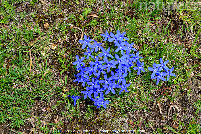 Spring Gentian (Gentiana verna) in flower, Col du Lombardie, Mercantour National Park, Provence, France, June.  ,  PLANT,VASCULAR PLANT,FLOWERING PLANT,ASTERID,GENTIAN,SPRING GENTIAN,PLANTAE,PLANT,TRACHEOPHYTA,VASCULAR PLANT,MAGNOLIOPSIDA,FLOWERING PLANT,ANGIOSPERM,SEED PLANT,SPERMATOPHYTE,SPERMATOPHYTINA,ANGIOSPERMAE,GENTIANALES,ASTERID,DICOT,DICOTYLEDON,ASTERANAE,GENTIANACEAE,GENTIAN,GENTIANA,GENTIANA VERNA,SPRING GENTIAN,CALATHIANA VERNA,ERICALA ANGULOSA,ERICALA VERNA,COLOUR,BLUE,EUROPE,WESTERN EUROPE,FRANCE,PROVENCE ALPES COTE D&#39,AZUR,PROVENCE,FLOWER,RESERVE,PROTECTED AREA,NATIONAL PARK,FRENCH ALPS,ALPES  ,  Robert  Thompson