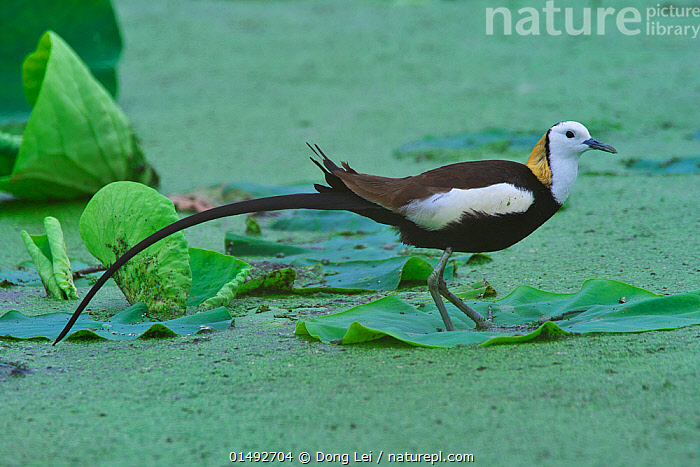 Pheasant-tailed Jacana (Hydrophasianus chirurgus) Chengdu City, Sichuan Province, China., high15,,Animal,Vertebrate,Bird,Birds,Jacana,Pheasant tailed jacana,Animalia,Animal,Wildlife,Vertebrate,Aves,Bird,Birds,Charadriiformes,Jacanidae,Jacana,Lily trotter,Jesus bird,Wader,Shorebird,Hydrophasianus,Hydrophasianus chirurgus,Pheasant tailed jacana,Chinese water pheasant,Water pheasant,Standing,Balance,Colour,Green,Nobody,Length,Long,Lengthy,Pattern,Patterned,Patterns,Asia,East Asia,China,Profile,Side View,Plant,Leaf,Foliage,Feather,Feathers,Outdoors,Open Air,Outside,Day,Freshwater,Pond,Water,Sichuan Province,Tail Feather,Animal marking,Green colour,Chengdu City,, Dong Lei