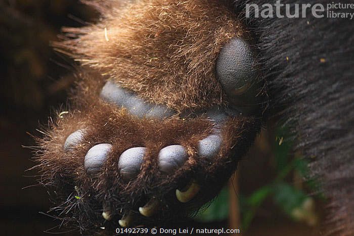 Giant panda (Ailuropoda melanoleuca) close up of paw showing sixth toe, Chengdu Research Base of Giant Panda Breeding, Chengdu City, Sichuan Province, China.  ,  high15,,Animal,Vertebrate,Mammal,Carnivore,Bear,Giant panda,Animalia,Animal,Wildlife,Vertebrate,Mammalia,Mammal,Carnivora,Carnivore,Ursidae,Bear,Ailuropoda,Ailuropoda melanoleuca,Giant panda,Illegal,Colour,Brown,Nobody,Size,Giant,Huge,Massive,Asia,East Asia,China,Close Up,Animal Limbs,Limb,Animal Feet,Feet,Foot,Animal Toes,Toe,Toes,Paw,Paws,Hair,Fur,Outdoors,Open Air,Outside,Day,Sichuan Province,Palm of Hand,Brown Colour,Animal Hair,Chengdu City,Back-hander,Bribery,Endangered species,threatened,Endangered  ,  Dong Lei