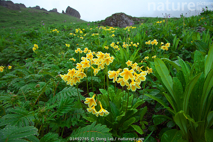 Primula (Primula serratifolia) in habitat, Kawakarpo Mountain, Meri Snow Mountain National Park, Yunnan Province, China., high15,,Plant,Vascular plant,Flowering plant,Asterid,Primula,Plantae,Plant,Tracheophyta,Vascular plant,Magnoliopsida,Flowering plant,Angiosperm,Seed plant,Spermatophyte,Spermatophytina,Angiospermae,Ericales,Asterid,Dicot,Dicotyledon,Asteranae,Primulaceae,Primula,Resilience,Resilient,Happiness,Colour,Green,Yellow,Nobody,Vibrant Colour,Asia,East Asia,China,Flower,Flowers,Hill,Hills,Hillside,Hillsides,Mountain,Mist,Outdoors,Open Air,Outside,Day,Habitat,Reserve,Protected area,National Park,Yunnan Province,Meli Snow Mountain National Park,Green colour,Meili Snow Mountain,Primula serratifolia,Yellow Colour,Kawakarpo Mountain,,,Beauty in nature,,,beauty in nature,, Dong Lei