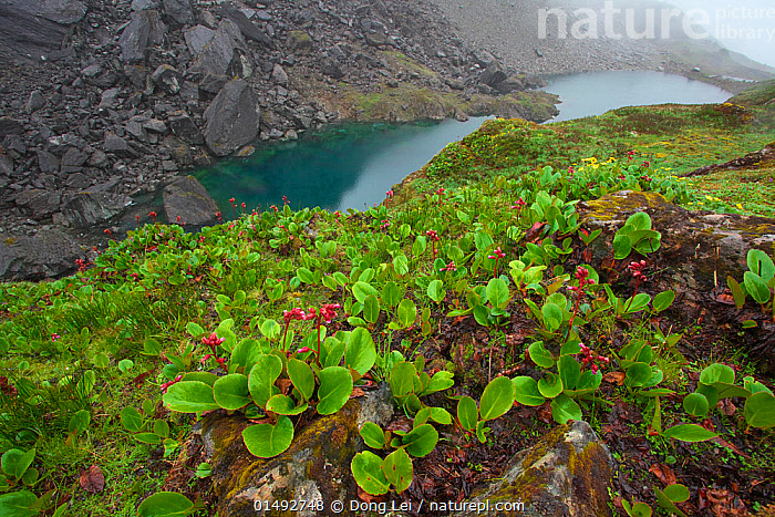 Purple bergenia (Bergenia purpurascens) in flower, Kawakarpo Mountain, Meri Snow Mountain National Park, Yunnan Province, China., high15,,Plant,Vascular plant,Flowering plant,Dicot,Elephant ear,Purple bergenia,Plantae,Plant,Tracheophyta,Vascular plant,Magnoliopsida,Flowering plant,Angiosperm,Seed plant,Spermatophyte,Spermatophytina,Angiospermae,Saxifragales,Dicot,Dicotyledon,Saxifraganae,Saxifragaceae,Bergenia,Elephant ear,Contrasts,Colour,Red,Nobody,Wet,Damp,Asia,East Asia,China,Flower,Flowers,Mountain,Rock,Flowing Water,River,Mist,Outdoors,Open Air,Outside,Day,Freshwater,Lake,Water,Habitat,Reserve,Protected area,National Park,Yunnan Province,Meli Snow Mountain National Park,Meili Snow Mountain,Bergenia purpurascens,Purple bergenia,Kawakarpo Mountain,, Dong Lei