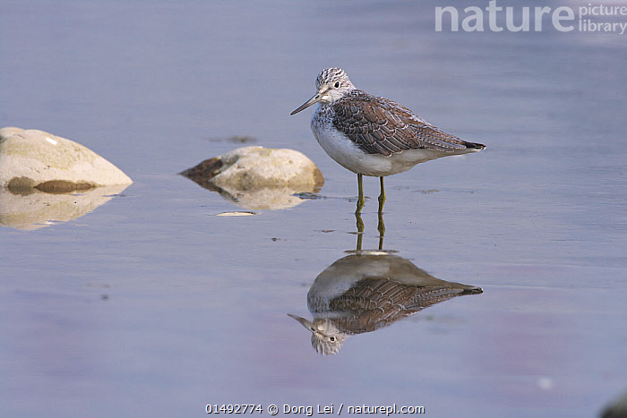 Common greenshank (Tringa nebularia) standing in water, Mianyang City, Sichuan Province, China., ANIMAL,VERTEBRATE,BIRDS,SANDPIPER,COMMON GREENSHANK,ANIMALIA,ANIMAL,WILDLIFE,VERTEBRATE,CHORDATE,AVES,BIRDS,CHARADRIIFORMES,SCOLOPACIDAE,SANDPIPER,WADER,SHOREBIRD,TRINGA,TRINGA NEBULARIA,COMMON GREENSHANK,GREATER GREENSHANK,GREENSHANK,SHANKS,MOOD,CALM,ALONE,SOLITUDE,SOLITARY,ASIA,EAST ASIA,CHINA,PROFILE,SIDE VIEW,REFLECTION,SICHUAN PROVINCE, Dong Lei