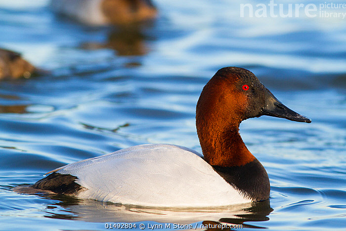 Nature Picture Library - Canvasback duck (Aythya valisimeria