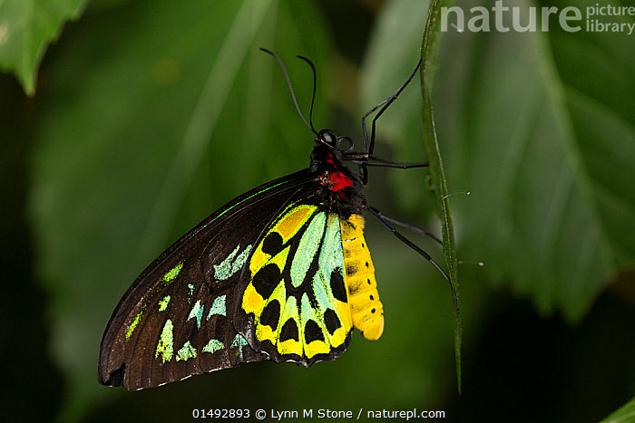 Cairn's birdwing butterfly (Ornithoptera priamus) male, captive, endemic to northern Australia., ANIMAL,ARTHROPOD,INSECT,SWALLOWTAIL BUTTERFLY,COMMON GREEN BIRDWING,ANIMALIA,ANIMAL,WILDLIFE,HEXAPODA,ARTHROPOD,INVERTEBRATE,HEXAPOD,ARTHROPODA,INSECTA,INSECT,LEPIDOPTERA,LEPIDOPTERANS,PAPILIONIDAE,SWALLOWTAIL BUTTERFLY,PAPILIONID,BUTTERFLY,ORNITHOPTERA,ORNITHOPTERA PRIAMUS,COMMON GREEN BIRDWING,AUSTRALIAN BIRDWING,CAPE YORK BIRDWING,PRIAM&#39,S BIRDWING,PRIAMS BIRDWING,NORTHERN BIRDWING,ORNITHOPTERA POSEIDON,PAPILIO PRONOMUS,PAPILIO EUPHORION,ASIA,PROFILE,SIDE VIEW, Lynn M Stone
