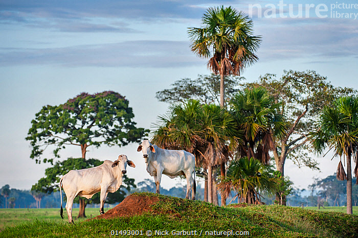 Zebu Cattle (Bos primigenius indicus), Los Llanos, Colombia, South America., catalogue7,Animal,Vertebrate,Mammal,Bovid,Cattle,Zebu,Animalia,Animal,Wildlife,Vertebrate,Mammalia,Mammal,Artiodactyla,Even-toed ungulates,Bovidae,Bovid,ruminantia,Ruminant,Bos,Cattle,Alertness,Alert,Caution,Cautious,White,Face To Face,Face Each Other,Facing Each Other,Two,Nobody,Latin America,South America,Colombia,Columbia,Full Length,Full Lengths,Whole,Plant,Tree,Palm Tree,Palm Trees,Palms,Landscape,Landscapes,Outdoors,Open Air,Outside,Day,Livestock,Domestic animal,Cows,Zebu,Two animals,Direct Gaze,White colour,Amazon,Bos primigenius,Brahma,Brahman,Los Llanos, Nick Garbutt