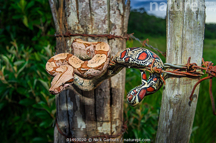 Nature Picture Library - Juvenile Colombian Red-tailed Boa