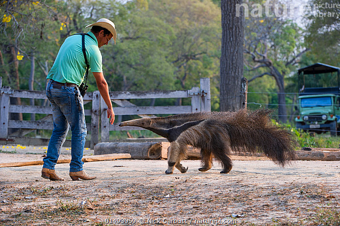 Adult Giant Anteater (Myrmecophaga tridactyla) with Pantaneiro Cowboy, Northern Pantanal, Mato Grosso State, Brazil, South America.  ,  high15,,Animal,Vertebrate,Mammal,Anteater,Giant anteater,Pantanal wetlands,Animalia,Animal,Wildlife,Vertebrate,Mammalia,Mammal,Pilosa,Myrmecophagidae,Anteater,Myrmecophaga,Myrmecophaga tridactyla,Giant anteater,Myrmecophaga iubata,Reaching,Reach,Reaches,People,Man,Cowboy,Cowboys,Rancher,Ranchers,Curiosity,1 Person,Single,Single Person,Latin America,South America,Brazil,Profile,Side View,Clothing,Hat,Hats,Cowboy Hat,Cowboy Hats,Stetson,Stetsons,Trousers,Pant,Pants,Trouser,Jeans,Road,Outdoors,Open Air,Outside,Day,Pantanal,Pantanal wetlands,Amazon,Pantaneiros,Ant Bear,Mato Grosso State,Endangered species,threatened,Vulnerable  ,  Nick Garbutt