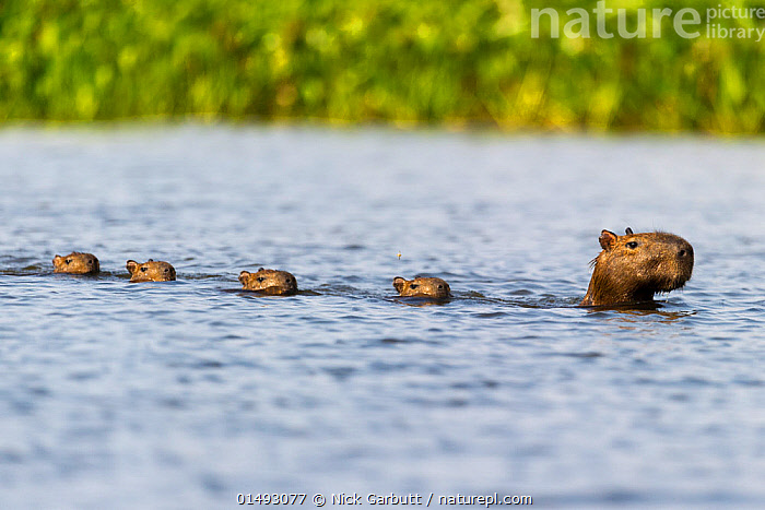 Female Capybara (Hydrochoerus hydrochaeris) swimming in line with young after escaping a Jaguar attack (Panthera onca palustris) in a lagoon off the Paraguay River. Taiama Ecological Reserve, Pantanal, Brazil, South America.  ,  catalogue7,Animal,Vertebrate,Mammal,Rodent,Capybara,Pantanal wetlands,Animalia,Animal,Wildlife,Vertebrate,Mammalia,Mammal,Rodentia,Rodent,Erethizontidae,Hydrochoerus,Capybara,Hydrochoerus hydrochaeris,Hydrochoerus capybara,Hydrochoerus dabbeni,Hydrochoerus irroratus,Moving After,Following,Follow,Follows,Swimming,Cute,Adorable,Focus,Direction,Escape,Escapes,Escaping,Guidance,Guiding,Leadership,Obedience,On The Move,Group,Medium Group,Nobody,Latin America,South America,Brazil,Profile,Side View,Lagoons,Outdoors,Open Air,Outside,Day,Nature,Natural,Natural World,Wild,Animals In The Wild,Animal In The Wild,Wild Animal,Wild Animals,Coast,Wetland,Coastal,Family,Mother baby,Mother-baby,mother,Parent baby,Pantanal,Pantanal wetlands,Moving,Amazon,Purpose,Focused,Paraguay River  ,  Nick Garbutt