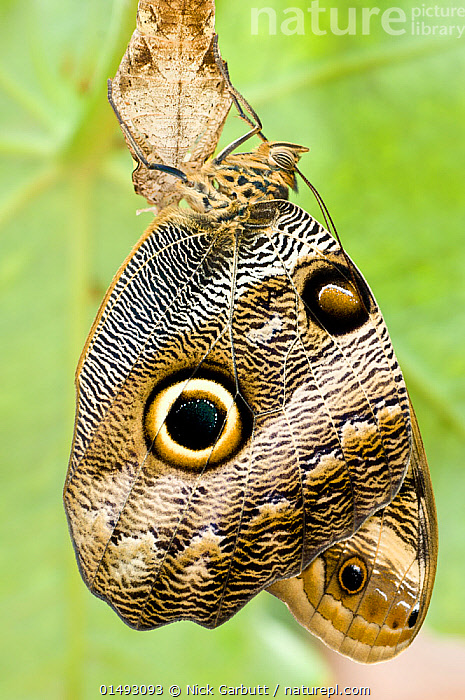 Owl-eye Butterfly (Caligo sp), Amazonia, Ecuador, South America., high15,,Animal,Arthropod,Insect,Brushfooted butterfly,Animalia,Animal,Wildlife,Hexapoda,Arthropod,Invertebrate,Hexapod,Arthropoda,Insecta,Insect,Lepidoptera,Lepidopterans,Nymphalidae,Brushfooted butterfly,Fourfooted butterfly,Nymphalid,Butterfly,Papilionoidea,Caligo,Hanging,Complexity,Complex,Complicated,Colour,Black,Nobody,Pattern,Patterned,Patterns,Latin America,South America,Ecuador,Profile,Vertical,Side View,Wing,Wings,Outdoors,Open Air,Outside,Day,Rainforest,Forest,Animal markings,Dramatic,Animal marking,Amazon,, Nick Garbutt