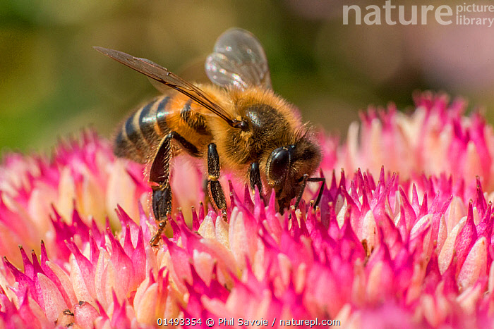 European honey bee (Apis mellifera) feeding on ice plant flowers (Sedum spectabile), Monmouthshire, Wales, UK. September., PLANT,VASCULAR PLANT,FLOWERING PLANT,DICOT,ORPIN,ANIMAL,ARTHROPOD,INSECT,BEE,HONEY BEE,SHOWY STONECROP,ICE PLANT,BUTTERFLY STONECROP,PLANTAE,PLANT,TRACHEOPHYTA,VASCULAR PLANT,MAGNOLIOPSIDA,FLOWERING PLANT,ANGIOSPERM,SEED PLANT,SPERMATOPHYTE,SPERMATOPHYTINA,ANGIOSPERMAE,SAXIFRAGALES,DICOT,DICOTYLEDON,SAXIFRAGANAE,CRASSULACEAE,ORPIN,STONECROP,ANIMALIA,ANIMAL,WILDLIFE,HEXAPODA,ARTHROPOD,INVERTEBRATE,HEXAPOD,ARTHROPODA,INSECTA,INSECT,HYMENOPTERA,HYMENOPTERANS,APIDAE,BEE,APID BEE,APOIDEA,APOCRITA,APIS,HONEY BEE,HONEYBEE,COLONIAL BEE,APINI,APIS MELLIFERA,EUROPEAN HONEY BEE,WESTERN HONEY BEE,APIS MELLIFICA,EUROPE,WESTERN EUROPE,UK,GREAT BRITAIN,WALES,CLOSE UP,MONMOUTHSHIRE,SIR FYNWY,HYLOTELEPHIUM,HYLOTELEPHIUM SPECTABILE,SEDUM SPECTABILE,SHOWY STONECROP,ICE PLANT,BUTTERFLY STONECROP,United Kingdom, Phil Savoie