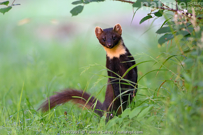 Pine marten (Martes martes) Vosges, France, May.  ,  high15,,Animal,Vertebrate,Mammal,Carnivore,Mustelid,Marten,European Pine Martin,Animalia,Animal,Wildlife,Vertebrate,Mammalia,Mammal,Carnivora,Carnivore,Mustelidae,Mustelid,Martes,Marten,Martes martes,European Pine Martin,Pine Marten,Curiosity,Eccentric,Eccentricity,Nobody,Pattern,Patterned,Patterns,Europe,Western Europe,France,Lorraine,Portrait,Tail,Outdoors,Open Air,Outside,Day,Forest,Vosges,Direct Gaze,Animal marking,Undergrowth,  ,  Fabrice  Cahez