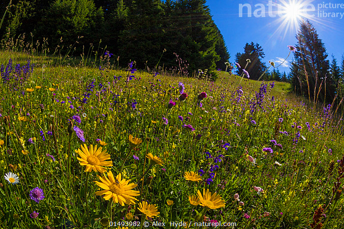 Alpine meadow, Nordtirol, Austrian Alps, July 2014., high15,,,Variation,Colour,Yellow,Nobody,Luminosity,Bright,Brightness,Vivid,Vividness,Europe,Western Europe,Austria,Tirol,Wide Angle,Lens Flare,Lens Flares,Plant,Wildflower,Wildflowers,Flower,Flowers,Sunflower Family,Daisy,Daisies,Mountain,Alpine,Light,Lights,Sunlight,Light Ray,Landscape,Landscapes,Outdoors,Open Air,Outside,Summer,Day,Woodland,Grassland,Meadow,Meadows,Forest,Mixed species,North Tyrol,Yellow Colour,Nordtirol,, Alex  Hyde