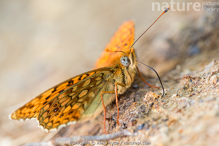 Niobe fritillary (Argynnis niobe) drinking mineral-rich water from the edge of a puddle. Nordtirol, Austria. June.  ,  ANIMAL,ARTHROPOD,INSECT,BRUSHFOOTED BUTTERFLY,MOUNTAIN FRITILLARY,NIOBE FRITILLARY,ANIMALIA,ANIMAL,WILDLIFE,HEXAPODA,ARTHROPOD,INVERTEBRATE,HEXAPOD,ARTHROPODA,INSECTA,INSECT,LEPIDOPTERA,LEPIDOPTERANS,NYMPHALIDAE,BRUSHFOOTED BUTTERFLY,FOURFOOTED BUTTERFLY,NYMPHALID,BUTTERFLY,PAPILIONOIDEA,ISSORIA,MOUNTAIN FRITILLARY,LONGWING,HELICONIAN,HELICONNINAE,ARGYNNIS NIOBE,NIOBE FRITILLARY,PAPILIO NIOBE,ARGYNNIS ERIS,FABRICIANA NIOBE,COLOUR,ORANGE,EUROPE,WESTERN EUROPE,AUSTRIA,CLOSE UP,PROBOSCIS,PROBOSCISES,PROBOSCISIDES,DRINKING,MACROS,NORTH TYROL  ,  Alex  Hyde