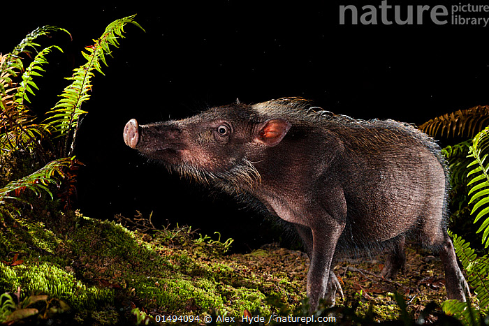Bearded pig (Sus barbatus) foraging for food at night, Maliau Basin, Sabah, Borneo.  ,  high15,,Animal,Vertebrate,Mammal,Pig,Bearded Pig,Animalia,Animal,Wildlife,Vertebrate,Mammalia,Mammal,Artiodactyla,Even-toed ungulates,Suidae,Pig,Sus,Sus barbatus,Bearded Pig,Western Bearded Pig,Foraging,Standing,Smelling,Sniffing,Alertness,Alert,Curiosity,Nosy,Nosey,Disbelief,Humorous,Nobody,Facial Expression,Asia,South East Asia,Plain Background,Black Background,Profile,Side View,Plant,Fern,Ferns,Outdoors,Open Air,Outside,Night,Borneo island,Borneo,Using Senses,Sabah,Maliau Basin,Endangered species,threatened,Vulnerable  ,  Alex  Hyde