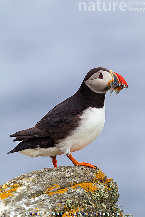 Atlantic puffin (Fratercula arctica) standing on a rock on the edge of the nesting cliff, with a beakful of sandeels (Ammodytidae). Flannan Isles, Outer Hebrides, Scotland. July.  ,  ANIMAL,VERTEBRATE,RAY FINNED FISH,PERCOMORPHI,SAND LANCE,BIRDS,AUK,PUFFIN,ATLANTIC PUFFIN,ANIMALIA,ANIMAL,WILDLIFE,VERTEBRATE,CHORDATE,ACTINOPTERYGII,RAY FINNED FISH,OSTEICHTHYES,BONY FISH,FISH,PERCIFORMES,PERCOMORPHI,ACANTHOPTERI,AMMODYTIDAE,SAND LANCE,SANDLANCE,AVES,BIRDS,CHARADRIIFORMES,ALCIDAE,AUK,SEABIRD,FRATERCULA,PUFFIN,FRATERCULA ARCTICA,ATLANTIC PUFFIN,COMMON PUFFIN,EUROPE,WESTERN EUROPE,UK,GREAT BRITAIN,SCOTLAND,OUTER HEBRIDES,COPY SPACE,PROFILE,VERTICAL,SIDE VIEW,HEBRIDES,SCOTTISH ISLANDS,SCOTTISH ISLES,NEGATIVE SPACE,SEABIRD,SEABIRDS,MARINE BIRD,MARINE BIRDS,PELAGIC BIRD,PELAGIC BIRDS,United Kingdom  ,  Brent  Stephenson