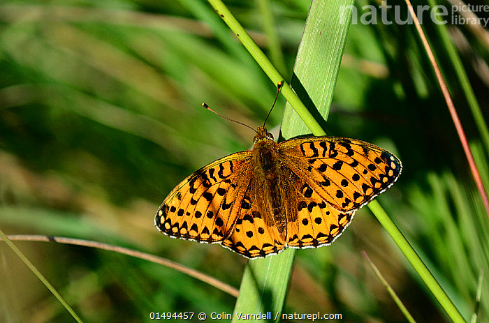Dark green fritillary butterfly (Argynnis aglaja) resting, Dorset, UK June.  ,  ANIMAL,ARTHROPOD,INSECT,BRUSHFOOTED BUTTERFLY,FRITILLARY,DARK GREEN FRITILLARY,ANIMALIA,ANIMAL,WILDLIFE,HEXAPODA,ARTHROPOD,INVERTEBRATE,HEXAPOD,ARTHROPODA,INSECTA,INSECT,LEPIDOPTERA,LEPIDOPTERANS,NYMPHALIDAE,BRUSHFOOTED BUTTERFLY,FOURFOOTED BUTTERFLY,NYMPHALID,BUTTERFLY,PAPILIONOIDEA,ARGYNNIS,FRITILLARY,LONGWING,HELICONIAN,HELICONNINAE,ARGYNNIS AGLAJA,DARK GREEN FRITILLARY,PAPILIO AGLAJA,PAPILIO CHARLOTTA,MESOACIDALIA AGLAJA,RESTING,REST,COLOUR,ORANGE,EUROPE,WESTERN EUROPE,UK,GREAT BRITAIN,ENGLAND,DORSET,HIGH ANGLE VIEW,PLANT,GRASS FAMILY,GRASS,GRASSES,WING,WINGS,ELEVATED VIEW,WINGS SPREAD,WINGSPAN,DORSAL VIEW,Plants,United Kingdom  ,  Colin Varndell