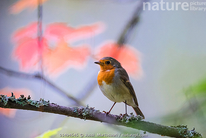 European robin (Erithacus rubecula) adult with autumn leaves in background, Punkaharju, Etela-Savo / Southern Savonia, Ita-Suomi / Eastern Finland, Finland. September  ,  catalogue7,Animal,Vertebrate,Bird,Birds,Songbird,Old world flycatcher,Robin,Animalia,Animal,Wildlife,Vertebrate,Aves,Bird,Birds,Passeriformes,Songbird,Passerine,Muscicapidae,Old world flycatcher,Flycatcher,Erithacus,Erithacus rubecula,Robin,European robin,Waiting,Care,Caring,Gentleness,Gently,Cute,Adorable,Kindness,Kind,Patience,Nobody,Europe,Northern Europe,North Europe,Nordic Countries,Finland,Close Up,Plant,Leaf,Foliage,Outdoors,Open Air,Outside,Autumn,Autumnal,Fall,Day,Lichen,Punkaharju,Etela-Savo,Savonia  ,  Jussi  Murtosaari