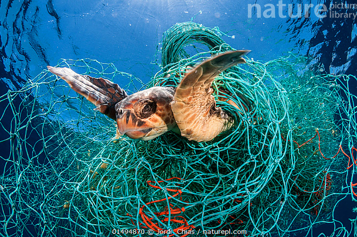 Loggerhead turtle (Caretta caretta) trapped in an abandoned drifting net, Balearic Channel, Mediterranean sea., catalogue7,Animal,Vertebrate,Reptile,Testitudine,Sea turtles,Loggerhead turtle,Animalia,Animal,Wildlife,Vertebrate,Reptilia,Reptile,Chelonii,Testitudine,Cheloniidae,Sea turtles,Turtle,Caretta,Caretta caretta,Loggerhead turtle,Testudo caretta,Testudo marina,Testudo nasicornis,Struggling,Adversity,Difficult,Difficulty,Tangled,Tangle,Tangles,Trapped,Nobody,Stuck,Close Up,Equipment,Fishing Equipment,Fishing Net,Fishing Nets,Tropical,Mediterranean Sea,Environment,Environmental Issues,Environmental Damage,Fishing Industries,Marine,Underwater,Water,Saltwater,Sea,Fisheries,Fishery,Tropics,Mediterranean,Balearic Channel,Endangered species,threatened,Endangered, Jordi  Chias
