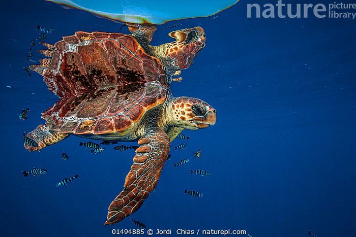 Loggerhead turtle (Caretta caretta) swimming near the surface, Balearic channel, Spain., ANIMAL,VERTEBRATE,REPTILE,TESTITUDINE,SEA TURTLES,LOGGERHEAD TURTLE,ANIMALIA,ANIMAL,WILDLIFE,VERTEBRATE,CHORDATE,REPTILIA,REPTILE,CHELONII,TESTITUDINE,CHELONIIDAE,SEA TURTLES,TURTLE,CARETTA,CARETTA CARETTA,LOGGERHEAD TURTLE,TESTUDO CARETTA,TESTUDO MARINA,TESTUDO NASICORNIS,RIPPLE,RIPPLED,EUROPE,SOUTHERN EUROPE,SOUTH EUROPE,IBERIAN PENINSULA,SPAIN,REFLECTION,MEDITERRANEAN SEA,MARINE,UNDERWATER,TEMPERATE,SALTWATER,SEA,TROPICS,MEDITERRANEAN,ENDANGERED SPECIES,THREATENED,ENDANGERED, Jordi  Chias