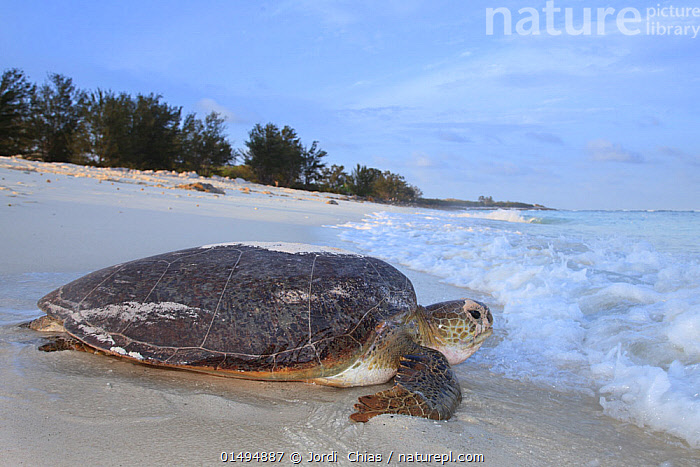 Green turtle (Chelonia mydas) returning at sea after egg laying in the beach, Europa Island, Eparse Islands / Scattered Islands in the Indian Ocean, Mozambique Channel, Indian Ocean.  ,  ANIMAL,VERTEBRATE,REPTILE,TESTITUDINE,SEA TURTLES,GREEN TURTLE,SCATTERED ISLANDS IN THE INDIAN OCEAN,ANIMALIA,ANIMAL,WILDLIFE,VERTEBRATE,CHORDATE,REPTILIA,REPTILE,CHELONII,TESTITUDINE,CHELONIIDAE,SEA TURTLES,TURTLE,CHELONIA,CHELONIA MYDAS,GREEN TURTLE,TESTUDO MYDAS,TESTUDO CEPEDIANA,CHELONIA LACHRYMATA,ASIA,TROPICAL,BEACH,OCEAN,INDIAN OCEAN,COAST,MARINE,COASTAL,SALTWATER,TROPICS,EPARSE ISLANDS,SCATTERED ISLANDS IN THE INDIAN OCEAN,ENDANGERED SPECIES,THREATENED,ENDANGERED  ,  Jordi  Chias