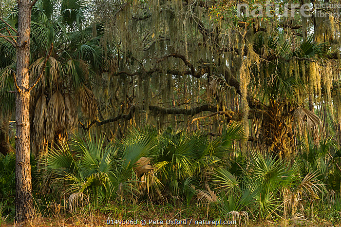 Coastal forest with Spanish moss (Tillandsia usneoides) growing on Southern live oak (Quercus virginiana) and Saw palmetto (Serenoa repens). Little St Simon's Island, Barrier Islands, Georgia, USA, March.  ,  PLANT,VASCULAR PLANT,FLOWERING PLANT,ROSID,OAK,MONOCOT,BROMELIAD,AIRPLANT,SPANISH MOSS,PALM,SAW PALMETTO,AMERICAN,PLANTAE,PLANT,TRACHEOPHYTA,VASCULAR PLANT,MAGNOLIOPSIDA,FLOWERING PLANT,ANGIOSPERM,SEED PLANT,SPERMATOPHYTE,SPERMATOPHYTINA,ANGIOSPERMAE,FAGALES,ROSID,DICOT,DICOTYLEDON,ROSANAE,FAGACEAE,QUERCUS,OAK,OAK TREE,POALES,MONOCOT,MONOCOTYLEDON,LILIANAE,BROMELIACEAE,BROMELIAD,TILLANDSIA,AIRPLANT,AIR PLANT,TILLANDSIA USNEOIDES,SPANISH MOSS,HENO,DENDROPOGON USNEOIDES,TILLANDSIA CRINITA,RENEALMIA USNEOIDES,ARECALES,ARECACEAE,PALM,PALM TREE,PALMAE,PALMACEAE,NORTH AMERICA,USA,SOUTHERN USA,SOUTHEAST US,GEORGIA,EPIPHYTE,EPIPHYTES,MOSSES,MOSS,LEAF,FOLIAGE,TREE,FOREST,CORYPHOIDEAE,SERENOA,SERENOA REPENS,SAW PALMETTO,AMERICAN,QUERCUS VIRGINIANA,TREE,TREES,Plants  ,  Pete Oxford