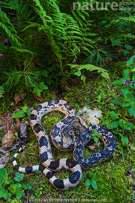Nature Picture Library - Northern pine snake (Pituophis