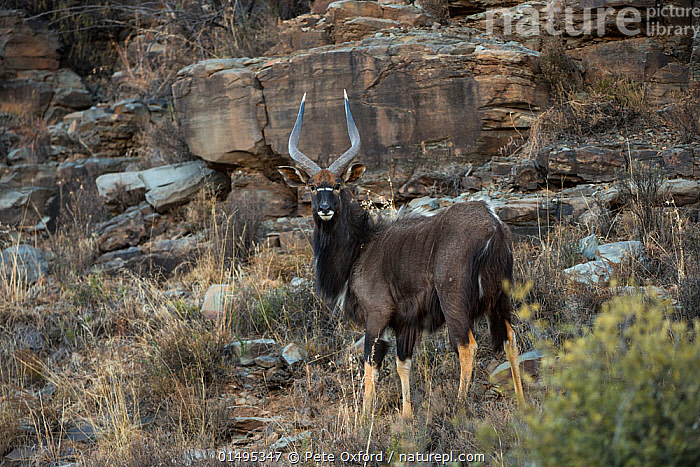 Nyala (Tragelaphus angasil) on private game ranch. Great Karoo, South Africa  ,  ANIMAL,VERTEBRATE,MAMMAL,BOVID,NYALA,ANIMALIA,ANIMAL,WILDLIFE,VERTEBRATE,MAMMALIA,MAMMAL,ARTIODACTYLA,EVEN TOED UNGULATES,BOVIDAE,BOVID,RUMINANTIA,RUMINANT,TRAGELAPHUS,TRAGELAPHUS ANGASI,NYALA,AFRICA,SOUTHERN AFRICA,SOUTH AFRICA,CLIFF,DIRECT GAZE,SOUTH AFRICAN  ,  Pete Oxford