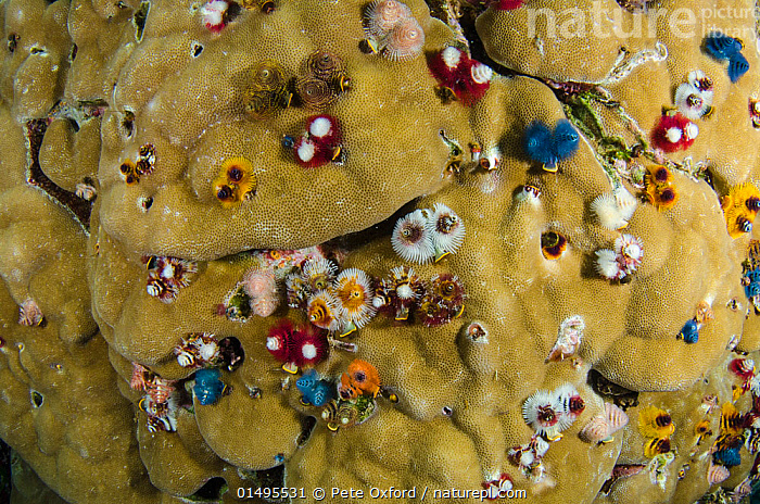 Nature Picture Library Christmas Tree Worms Spirobranchus Sp