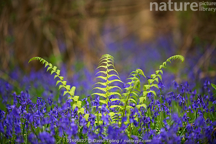 Fern growing among Bluebells (Hyacinthoides non-scripta) Foxley Wood, Norfolk, UK, April., high15,,Plant,Vascular plant,Flowering plant,Monocot,Bluebell,Plantae,Plant,Tracheophyta,Vascular plant,Magnoliopsida,Flowering plant,Angiosperm,Seed plant,Spermatophyte,Spermatophytina,Angiospermae,Asparagales,Monocot,Monocotyledon,Lilianae,Asparagaceae,Hyacinthoides,Bluebell,Hyacinthoides non-scripta,Common bluebell,English bluebell,Endymion non scriptus,Scilla non scripta,Endymion cernuus,New Beginnings,Begin,New Life,Contrasts,Fragility,Fragile,Growth,Grow,Growing,Grows,Optimism,Optimistic,Colour,Green,Purple,Nobody,Europe,Western Europe,UK,Great Britain,England,Norfolk,Close Up,Fern,Ferns,Flower,Flowers,Leaf,Foliage,Outdoors,Open Air,Outside,Spring,Day,Mixed species,Green colour,Beginnings,Foxley Wood,,,Beauty in nature,,,beauty in nature,, David Tipling