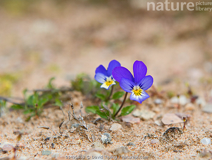 Wild pansy (Viola tricolor) growing in sand dune, Sands of Forvie National Nature Reserve, Aberdeenshire, Scotland, June.  ,  PLANT,VASCULAR PLANT,FLOWERING PLANT,ROSID,VIOLET,HEARTSEASE,PLANTAE,PLANT,TRACHEOPHYTA,VASCULAR PLANT,MAGNOLIOPSIDA,FLOWERING PLANT,ANGIOSPERM,SEED PLANT,SPERMATOPHYTE,SPERMATOPHYTINA,ANGIOSPERMAE,MALPIGHIALES,ROSID,DICOT,DICOTYLEDON,ROSANAE,VIOLACEAE,VIOLA,VIOLET,VIOLA TRICOLOR,HEARTSEASE,HEART&#39,S EASE,WILD PANSY,PANSY VIOLET,COLOUR,PURPLE,EUROPE,WESTERN EUROPE,UK,GREAT BRITAIN,SCOTLAND,GRAMPIAN,FLOWER,SAND DUNE,DUNE,DUNES,SANDBANK,RESERVE,PROTECTED AREA,ABERDEENSHIRE,United Kingdom  ,  David Tipling