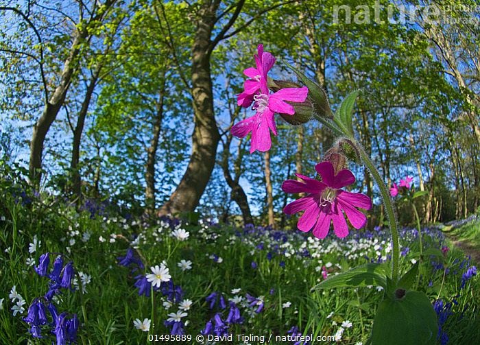 Red campion (Silene dioica) flowering in woodland amongst Bluebells and Greater stitchwort. Thursford Wood, North Norfolk, UK, May.  ,  catalogue7,Plant,Vascular plant,Flowering plant,Dicot,Pink,Red campion,Plantae,Plant,Tracheophyta,Vascular plant,Magnoliopsida,Flowering plant,Angiosperm,Seed plant,Spermatophyte,Spermatophytina,Angiospermae,Caryophyllales,Dicot,Dicotyledon,Caryophyllanae,Centrospermae,Caryophyllaceae,Pink,Carnation,Silene,Silene dioica,Red campion,Red catchfly,Lychnis dioica,Melandrium dioicum,Melandrium rubrum,Growth,Grow,Growing,Grows,Optimism,Optimistic,Happiness,Variation,Colour,Purple,White,Nobody,Vibrant Colour,Europe,Western Europe,UK,Great Britain,England,Norfolk,Low Angle View,Wide Angle,Wildflower,Wildflowers,Flower,Tree,Landscape,Landscapes,Outdoors,Open Air,Outside,Spring,Day,Beautiful,Pretty,Nature,Natural,Natural World,Beauty In Nature,Woodland,Habitat,Forest,Mixed species,White colour,Surface,Surface level  ,  David Tipling