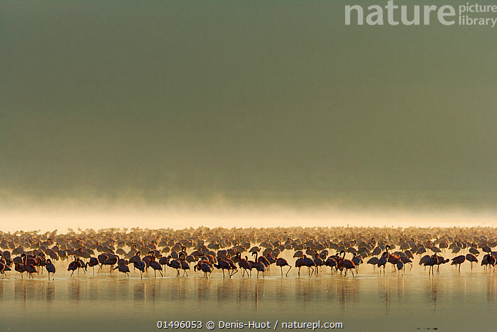 Lesser flamingo (Phoeniconaias minor) flock in the mist, Lake Nakuru, Kenya. March., ANIMAL,VERTEBRATE,BIRDS,FLAMINGO,LESSER FLAMINGO,ANIMALIA,ANIMAL,WILDLIFE,VERTEBRATE,AVES,BIRDS,PHOENICOPTERIFORMES,FLAMINGO,PHOENICOPTERIDAE,PHOENICONAIAS,PHOENICONAIAS MINOR,LESSER FLAMINGO,ATMOSPHERIC MOOD,ATMOSPHERIC,FLOCKING,FLOCKS,GROUP,AFRICA,EAST AFRICA,KENYA,COPY SPACE,BACK LIT,BACKLIT,MIST,FRESHWATER,LAKE,WATER,SILHOUETTE,NEGATIVE SPACE, Denis-Huot