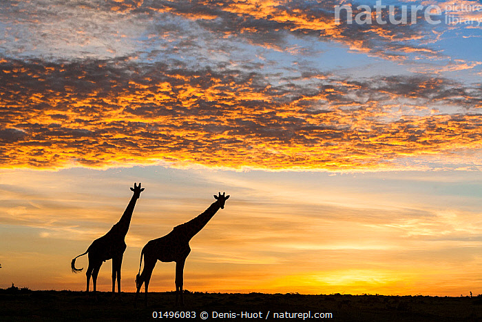Masai giraffes (Giraffa camelopardalis tippelskirchi), at sunrise, Masai-Mara Game Reserve, Kenya. March., high15,,Animal,Vertebrate,Mammal,Giraffid,Giraffe,Masai Giraffe,Animalia,Animal,Wildlife,Vertebrate,Mammalia,Mammal,Artiodactyla,Even-toed ungulates,Giraffidae,Giraffid,Ruminant,Giraffa,Giraffe,Giraffa camelopardalis,Burning,Curiosity,Morning,Mornings,Colour,Yellow,Two,Nobody,Africa,East Africa,Kenya,Back Lit,Backlit,Fire,Sky,Cloud,Skyscapes,Sunrise,Landscape,Landscapes,Outdoors,Open Air,Outside,Day,Savanna,Silhouette,Masai Giraffe,Maasai Giraffe,Dawn,Two animals,Beginnings,Yellow Colour,, Denis-Huot