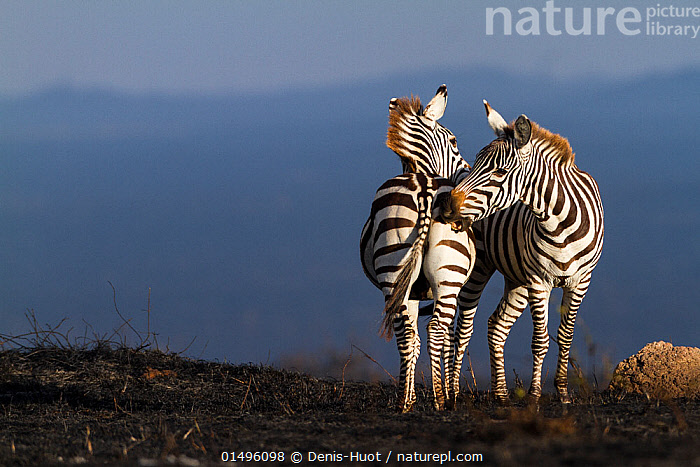 Grant's zebra (Equus burchelli granti) mutual grooming after a bush fire, Masai-Mara Game Reserve, Kenya. October.  ,  high15,,Animal,Vertebrate,Mammal,Odd toed ungulate,Common Zebra,Grant's zebra,Animalia,Animal,Wildlife,Vertebrate,Mammalia,Mammal,Perissodactyla,Odd toed ungulate,Equidae,Equus,Equus quagga,Common Zebra,Painted Zebra,Plains Zebra,Equus burchelli,Grooming,Contrasts,Opposites,Side By Side,Two,Nobody,Africa,East Africa,Kenya,Copy Space,Rear End,Fire,Outdoors,Open Air,Outside,Day,Nature,Natural,Natural World,Scenics,Open Space,Open Spaces,Scenery,View,Views,Vista,Animal Behaviour,Behaviour,Grant's zebra,Two animals,Negative space,Fire Damage,Animal Bottom,Mutualism,  ,  Denis-Huot