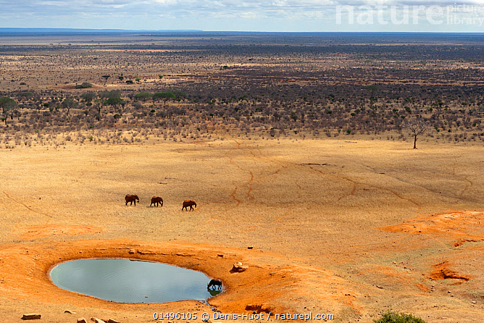 Aerial view of African elephants (Loxodonta africana) and African buffalo (Syncerus caffer) at a water hole during the dry season, Tsavo East National Park, Kenya. October.  ,  high15,,Animal,Vertebrate,Mammal,Bovid,Buffalo,African buffalo,Elephant,African elephants,African elephant,Animalia,Animal,Wildlife,Vertebrate,Mammalia,Mammal,Artiodactyla,Even-toed ungulates,Bovidae,Bovid,ruminantia,Ruminant,Syncerus,Buffalo,Syncerus caffer,African buffalo,Proboscidea,Elephantidae,Elephant,Loxodonta,African elephants,Loxodonta africana,African elephant,Walking,Few,Three,Group,Nobody,Dry,Africa,East Africa,Kenya,Aerial View,High Angle View,Horizon,Horizon Over Land,Horizons Over Land,Plain,Plains,Water Hole,Water Holes,Landscape,Landscapes,Outdoors,Open Air,Outside,Day,Savanna,Freshwater,Water,Tropical climate,Dry season,Habitat,Mixed species,Elevated view,Three Animals,Insignificant,Expansive,Tsavo East National Park,Cape buffalo,Tsavo (Kenya),Endangered species,threatened,Endangered  ,  Denis-Huot