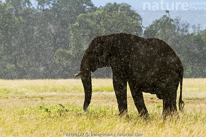 African elephant (Loxodonta africana) standing in the rain, Masai-Mara Game Reserve, Kenya. March.  ,  high15,,Animal,Vertebrate,Mammal,Elephant,African elephants,African elephant,Animalia,Animal,Wildlife,Vertebrate,Mammalia,Mammal,Proboscidea,Elephantidae,Elephant,Loxodonta,African elephants,Loxodonta africana,African elephant,Standing,Atmospheric Mood,Atmospheric,Resilience,Resilient,Sadness,Alone,Depression,Depressed,Solitude,Solitary,Nobody,Wet,Africa,East Africa,Kenya,Back Lit,Backlit,Male Animal,Bull,Bulls,Weather,Raining,Rain,Outdoors,Open Air,Outside,Day,Grassland,Savanna,Bad Weather,Tropical climate,Rainy season,Silhouette,Severe weather,Adverse conditions,Wet season,Endangered species,threatened,Endangered  ,  Denis-Huot