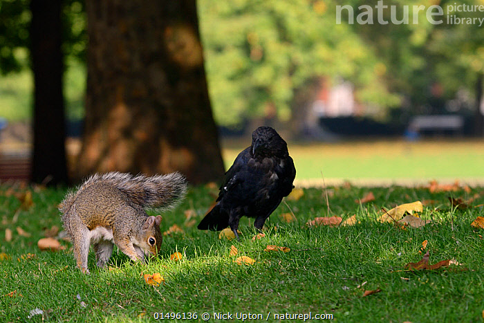 Grey squirrel (Sciurus carolinensis) burying Peanut given to it by tourist in lawn, being watched by Carrion crow  (Corvus corone) who will then steal the cache later, St.James's Park, London, UK, September.  ,  ANIMAL,VERTEBRATE,BIRDS,SONGBIRD,CROW,CARRION CROW,MAMMAL,RODENT,SQUIRREL,EASTERN GRAY SQUIRREL,ANIMALIA,ANIMAL,WILDLIFE,VERTEBRATE,AVES,BIRDS,PASSERIFORMES,SONGBIRD,PASSERINE,CORVIDAE,CROW,CORVID,CORVUS,CORVUS CORONE,CARRION CROW,COMMON CROW,EURASIAN CROW,MAMMALIA,MAMMAL,RODENTIA,RODENT,SCIURIDAE,SCIURUS,SQUIRREL,SCIURUS CAROLINENSIS,EASTERN GRAY SQUIRREL,GRAY SQUIRREL,GREY SQUIRREL,THEFT,EUROPE,WESTERN EUROPE,UK,GREAT BRITAIN,ENGLAND,LONDON,GREATER LONDON,INNER LONDON,WESTMINSTER,PARK,PARKS,ANIMAL BEHAVIOUR,INTELLIGENCE,MIXED SPECIES,BEHAVIOUR,STEALING,CITY PARK,URBAN PARK,United Kingdom  ,  Nick Upton