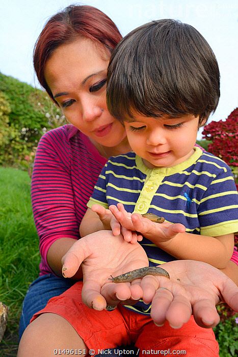 Young boy and mother holding Leopard / Great grey slugs (Limax maximus) found in garden, Bristol, UK, October 2014. Model released.  ,  ANIMAL,MOLLUSC,GASTROPOD,MOLLUSCS,KEELBACK SLUG,GREAT GREY SLUG,ANIMALIA,ANIMAL,WILDLIFE,MOLLUSCA,MOLLUSC,GASTROPODA,GASTROPOD,STYLOMMATOPHORA,MOLLUSCS,EUPULMONATA,PANPULMONATA,EUTHYNEURA,HETEROBRANCHIA,LIMACIDAE,KEELBACK SLUG,LIMAX,LIMAX MAXIMUS,GREAT GREY SLUG,LEOPARD SLUG,PEOPLE,ASIAN,ASIANS,CHILD,FEMALE,WOMAN,MALE,FAMILY,PARENT,MOTHER,EUROPE,WESTERN EUROPE,UK,GREAT BRITAIN,ENGLAND,COUNTY OF BRISTOL,BRISTOL CITY,BRISTOL,VERTICAL,EDUCATION,EDUCATIONAL,ANIMAL BEHAVIOUR,PLAYING,BEHAVIOUR,PLAY,PLAYFUL,CHILDREN IN NATURE,INVERTEBRATE,INVERTEBRATES,Communication,United Kingdom  ,  Nick Upton