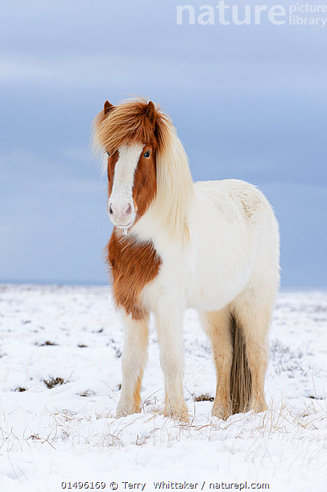Portrait of Skewbald Icelandic horse in the snow, Snaefellsnes Peninsula, Iceland, March., high15,,Equus ferus caballus,Equus caballus,Cute,Adorable,Friendship,Colour,Brown,White,Nobody,Fluffy,Pattern,Patterned,Patterns,Temperature,Cold,Serious,Europe,Northern Europe,North Europe,Nordic Countries,Scandinavia,Iceland,Vertical,Portrait,Animal,Mane,Manes,Snow,Outdoors,Open Air,Outside,Winter,Day,Domestic animal,Domestic Horse,Icelandic horse,Equus ferus caballus,Equus caballus,Horse,Animal marking,White colour,Skewbald,Brown Colour,Snaefellsnes Peninsula,, Terry  Whittaker