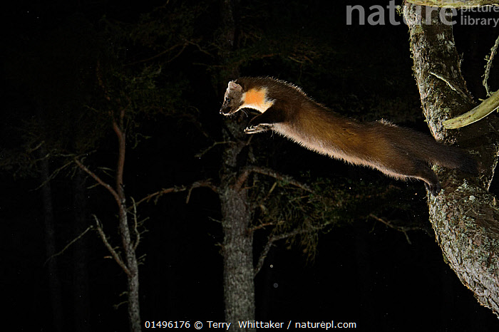 Pine marten (Martes martes) jumping from branch, Black Isle, Scotland, UK, February. Photographed by camera trap, Sequence 1 of 2.  ,  high15,,Animal,Vertebrate,Mammal,Carnivore,Mustelid,Marten,European Pine Martin,Animalia,Animal,Wildlife,Vertebrate,Mammalia,Mammal,Carnivora,Carnivore,Mustelidae,Mustelid,Martes,Marten,Martes martes,European Pine Martin,Pine Marten,Jumping,Courage,Brave,Bravery,Daring,Mid Air,Nobody,Europe,Western Europe,UK,Great Britain,Scotland,Plant,Tree,Outdoors,Open Air,Outside,Night,Woodland,Forest,Reckless,Black Isle,  ,  Terry  Whittaker