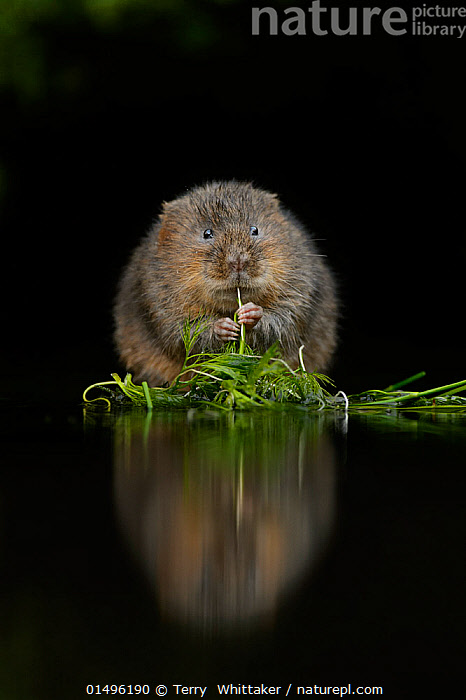 Water vole (Arvicola amphibius) feeding at edge of water, Kent, UK, December., high15,,Animal,Vertebrate,Mammal,Rodent,Water vole,Animalia,Animal,Wildlife,Vertebrate,Mammalia,Mammal,Rodentia,Rodent,Cricetidae,Arvicola,Water vole,Arvicola terrestris,Glance,Glances,Glancing,Look Away,Looks Away,Anxiety,Cute,Adorable,Colour,Brown,Nobody,Shy,Europe,Western Europe,UK,Great Britain,England,Kent,Cutout,Plain Background,Black Background,Vertical,Front View,View From Front,Plant,Leaf,Foliage,Hair,Fur,Reflection,Water's Edge,Outdoors,Open Air,Outside,Day,Freshwater,Water,Feeding,Brown Colour,Animal Hair,, Terry  Whittaker