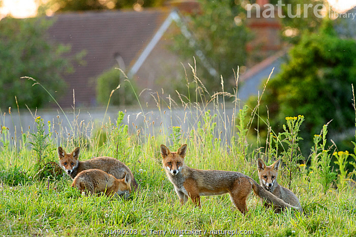 Family of Red foxes (Vulpes vulpes) on railway embankment, Kent, UK, July., high15,,Animal,Vertebrate,Mammal,Carnivore,Canid,True fox,Red fox,Animalia,Animal,Wildlife,Vertebrate,Mammalia,Mammal,Carnivora,Carnivore,Canidae,Canid,Vulpes,True fox,Vulpini,Caninae,Vulpes vulpes,Red fox,Alertness,Alert,Gang,Gang Member,Gang Members,Gangs,Mischief,Suspicion,Few,Four,Group,Nobody,Europe,Western Europe,UK,Great Britain,England,Kent,Young Animal,Juvenile,Babies,Baby Mammal,Cub,Plant,Grass Family,Tall Grass,Long Grass,Tall Grasses,Grass,Grasses,Ear,Animal Ears,Ears,Building,Residential Structure,House,Houses,Outdoors,Open Air,Outside,Day,Nature,Natural,Natural World,Wild,Direct Gaze,Four animals,Ears Pricked,Wasteland,, Terry  Whittaker