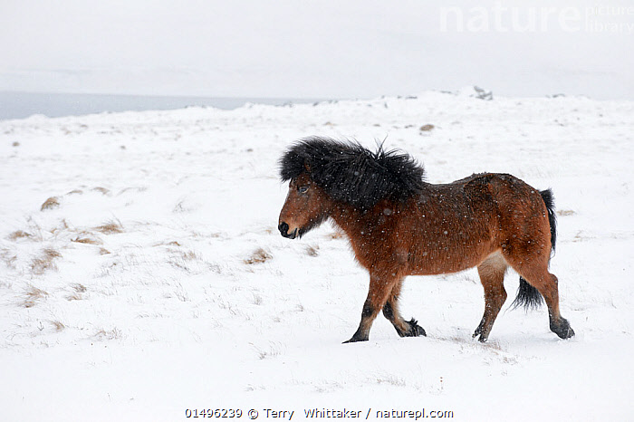 Bay Icelandic horse trotting in the snow, Snaefellsnes Peninsula, Iceland, March., high15,,Equus ferus caballus,Equus caballus,Walking,Trotting,Resilience,Resilient,On The Move,Alone,Solitude,Solitary,Colour,Brown,Nobody,Europe,Northern Europe,North Europe,Nordic Countries,Scandinavia,Iceland,Profile,Side View,Animal,Snow,Outdoors,Open Air,Outside,Winter,Day,Countryside,Domestic animal,Domestic Horse,Icelandic horse,Equus ferus caballus,Equus caballus,Horse,Moving,Bay,Brown Colour,Snaefellsnes Peninsula,, Terry  Whittaker
