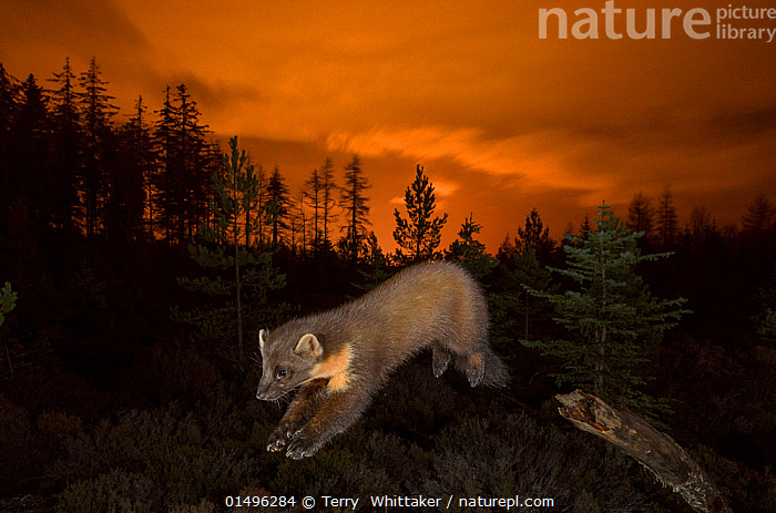 Pine marten (Martes martes) leaping from branch, orange glow in sky behind from the lights of Inverness. Black Isle, Scotland, UK, November. Photographed by camera trap., ANIMAL,VERTEBRATE,MAMMAL,CARNIVORE,MUSTELID,MARTEN,EUROPEAN PINE MARTIN,ANIMALIA,ANIMAL,WILDLIFE,VERTEBRATE,MAMMALIA,MAMMAL,CARNIVORA,CARNIVORE,MUSTELIDAE,MUSTELID,MARTES,MARTEN,MARTES MARTES,EUROPEAN PINE MARTIN,PINE MARTEN,JUMPING,MID AIR,EUROPE,WESTERN EUROPE,UK,GREAT BRITAIN,SCOTLAND,NIGHT,United Kingdom, Terry  Whittaker