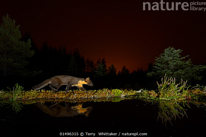 Pine marten (Martes martes) walking along edge of water, orange glow in sky behind from the lights of Inverness. Black Isle, Scotland, UK, September. Photographed by camera trap., high15,,Animal,Vertebrate,Mammal,Carnivore,Mustelid,Marten,European Pine Martin,Animalia,Animal,Wildlife,Vertebrate,Mammalia,Mammal,Carnivora,Carnivore,Mustelidae,Mustelid,Martes,Marten,Martes martes,European Pine Martin,Pine Marten,Prowling,Walking,Criminal,Thief,Stealth,Nobody,Dark,Darkness,Edge,Edges,Europe,Western Europe,UK,Great Britain,Scotland,Highland,Inverness,Profile,Side View,Reflection,Flowing Water,River,Outdoors,Open Air,Outside,Night,Environment,Environmental Issues,Environmental Damage,Freshwater,Water,Animal Behaviour,Behaviour,Highlands of Scotland,Negative space,Black Isle,, Terry  Whittaker