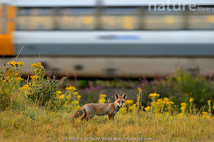 Red fox (Vulpes vulpes) cub on railway embankment with train passing behind, Kent, UK, July.  ,  high15,,Animal,Vertebrate,Mammal,Carnivore,Canid,True fox,Red fox,Animalia,Animal,Wildlife,Vertebrate,Mammalia,Mammal,Carnivora,Carnivore,Canidae,Canid,Vulpes,True fox,Vulpini,Caninae,Vulpes vulpes,Red fox,Contrasts,Speed,Nobody,Europe,Western Europe,UK,Great Britain,England,Kent,Photographic Effect,Young Animal,Juvenile,Babies,Baby Mammal,Cub,Plant,Wildflower,Wildflowers,Flower,Flowers,Infrastructure,Transportation Infrastructure,Rail Transport Infrastructure,Railroad Structure,Railroad Track,Outdoors,Open Air,Outside,Day,Nature,Natural,Natural World,Wild,Direct Gaze,Tension,,,eye contact,  ,  Terry  Whittaker