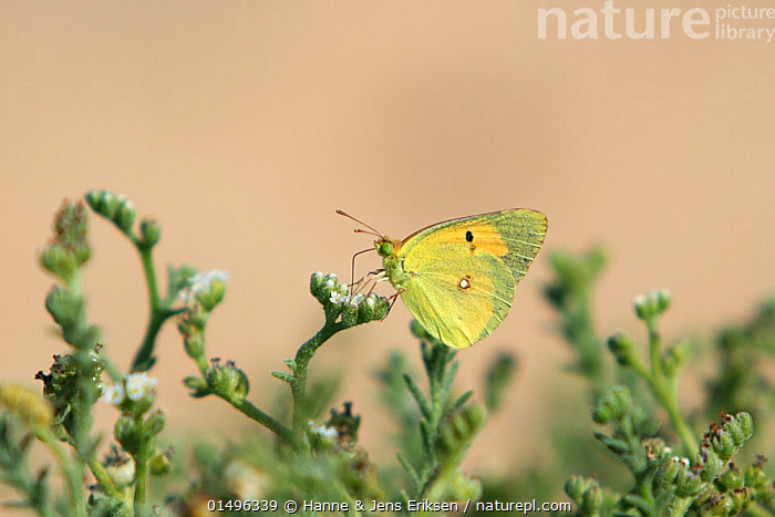 Clouded yellow butterfly (Colias croceus) May, Oman, ANIMAL,ARTHROPOD,INSECT,BUTTERFLY,CLOUDED YELLOW,ANIMALIA,ANIMAL,WILDLIFE,HEXAPODA,ARTHROPOD,INVERTEBRATE,HEXAPOD,ARTHROPODA,INSECTA,INSECT,LEPIDOPTERA,LEPIDOPTERANS,PIERIDAE,BUTTERFLY,PAPILIONOIDEA,COLIAS,CLOUDED YELLOW,SULPHUR,COLIAS CROCEA,DARK CLOUDED YELLOW,COMMON CLOUDED YELLOW,COLIAS CROCEUS,PAPILIO CROCEUS,PAPILIO EDUSA,ASIA,MIDDLE EAST,OMAN,SULTANATE OF OMAN,COPY SPACE,PROFILE,SIDE VIEW,ARABIA,NEGATIVE SPACE, Hanne & Jens Eriksen